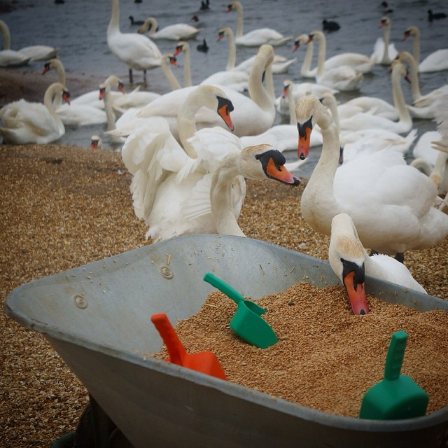 Feeding time at the Abbotsbury Swannery in Dorset, the only managed colony of nesting mute swans in the world since 1393. #travel #England #fauna #Swannery