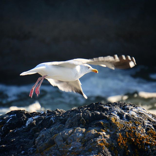 Captured this beautiful #seagull just as she was taking to the sky. #bird #camping #nature #nofilter